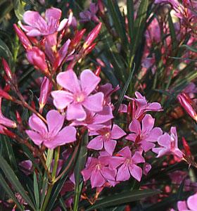 Le laurier rose baobab jardinerie cr ative - Engrais pour laurier rose ...
